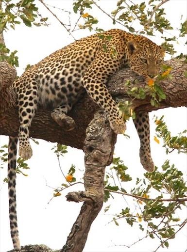 Leopard in a tree, Kruger National Park