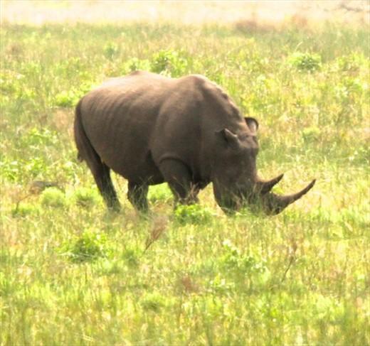 Horny rhino, iSimangaliso National Wetlands