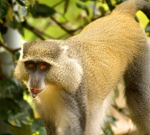 Simango (blue) monkey, iSimangaliso National Wetlands