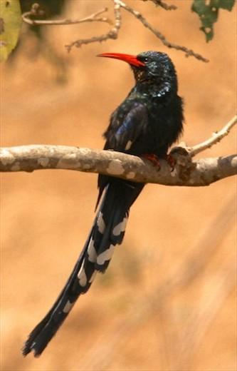 Green wood hoopoe, Kruger National Park