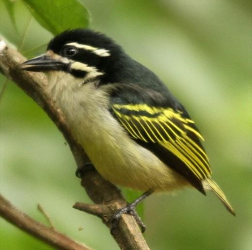 Yellow-rumped tinker bird, St. Lucia