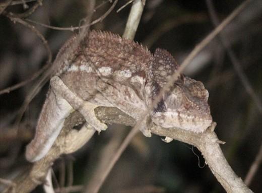 Osterlett's chameleon, Ankarafantsika