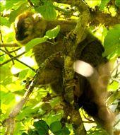 Red-fronted brown lemur, Ranomafana NP: by vagabondstoo, Views[164]