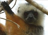 Diadem sifaka, Mantadia Reserve: by vagabondstoo, Views[238]
