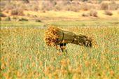Gathering thatch, Ifaty: by vagabondstoo, Views[282]
