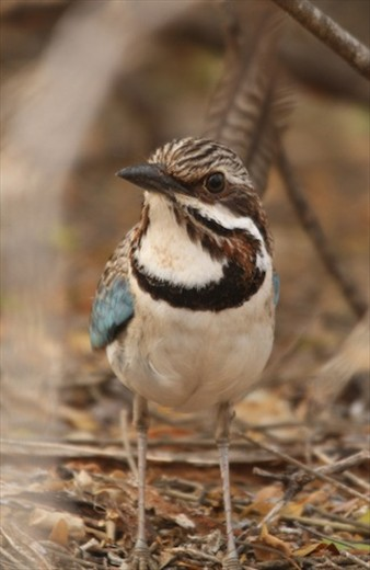 Long-tailed ground roller, Spiny Forest