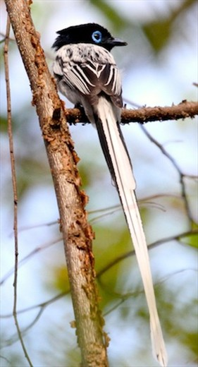 Madagascar paradise fly-catcher, Ankarafantsika National Park