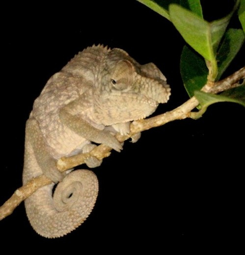 Rhinoceros chameleon, Ankarafantsika