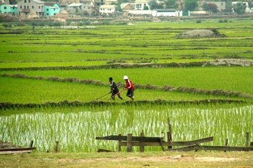 Rice paddies in the middle of the capital, Antananarivo