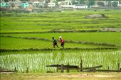 Rice paddies in the middle of the capital, Antananarivo: by vagabondstoo, Views[260]