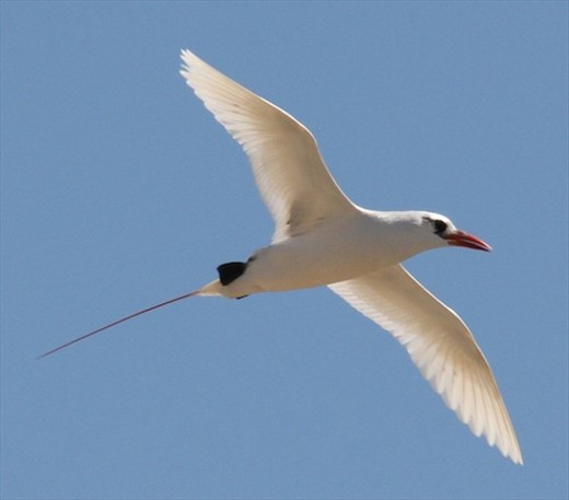 Red-tailed tropic bird, Nosy Ve