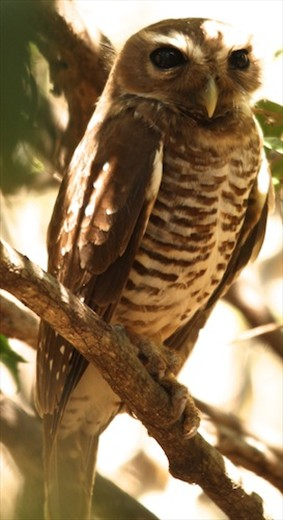 White-browed owl, Zombitse NP