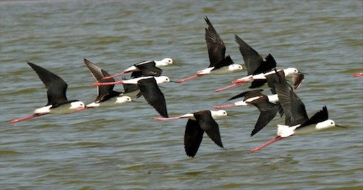 White-necked stilts, Ifaty