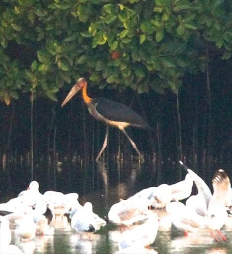 Adjutant stork, Salim Ali Santuary