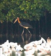 Adjutant stork, Salim Ali Santuary: by vagabondstoo, Views[327]