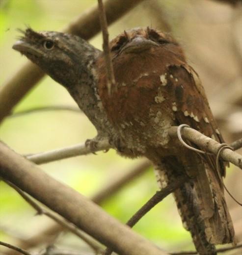 Sri Lanka frogmouth, Bagwhan Mahaveer National Park