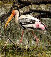 Painted Stork, Keoladeo National Park: by vagabondstoo, Views[936]