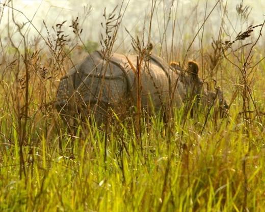 One-horned Asian rhino, Manas National Park, Assam