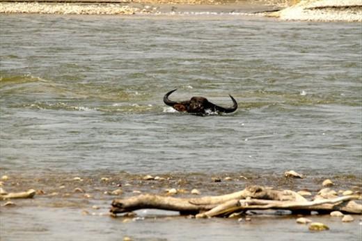 Buffalo charge, Manas National Park, Assam