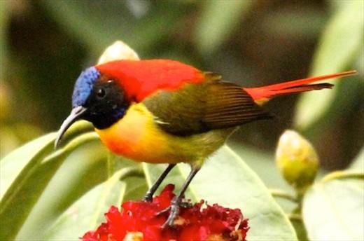 Fire-tailed sunbird, Darjeeling