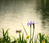 Iris, Kew Gardens: by vagabondstoo, Views[291]