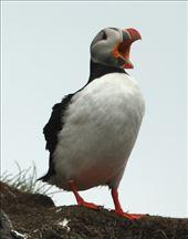 Atlantic puffin, Hafnarholmi : by vagabondstoo, Views[2199]