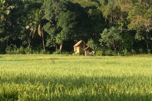 Rice paddies, Sabang, Palawan