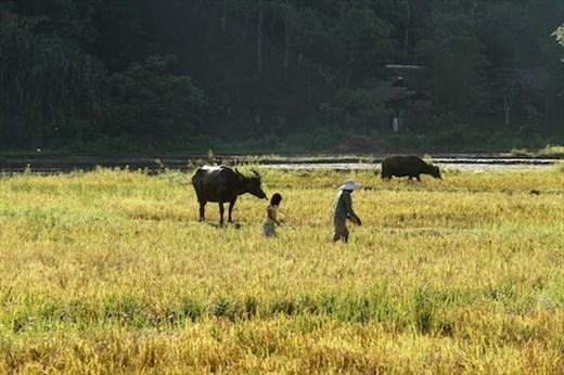 Bringing in the sheaves, Sabang, Palawan