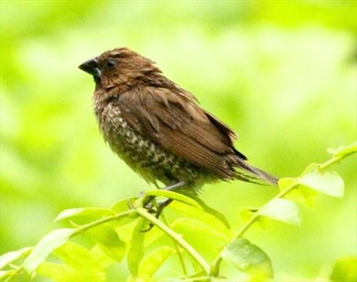 Scaly-breasted munia, Puerto Princesa