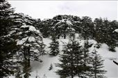 Cedars of Lebanon in the snow, Bcharre: by vagabondstoo, Views[548]
