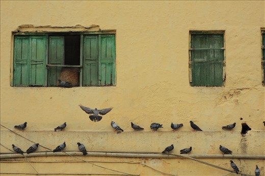 These local pigeons in this place are considered as be messengers of God.