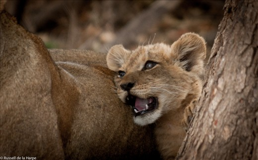 A young lion cub enjoys her mothers company and protection