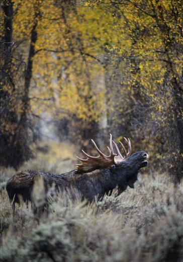 I timed my visit to the Tetons this year with the moose mating season.  This is one of my favorite images of a bull moose, standing in sage brush on a cold, rainy day, with some fall colors left overhead.