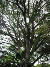 Guanacaste trees are structurally beautiful: by viajerofrye, Views[166]