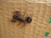 Not the scorpion in the car, this guy was right outside the kitchen door in Scorpion Alley (boxes where we keep/separate our recyclables): by viajerofrye, Views[154]