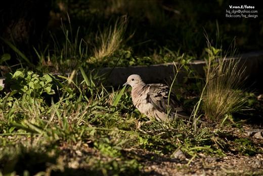 A wild pidgeon in the bushes, near Potrero de los Funes.