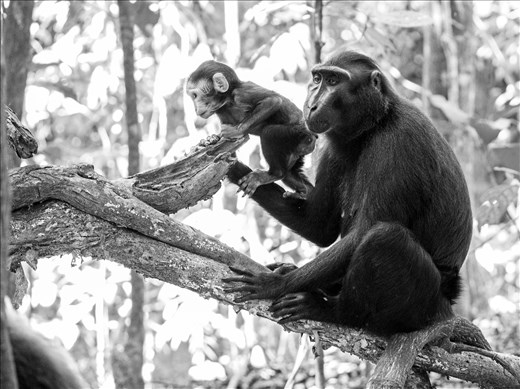 A baby black crested macaque makes an attempt to escape from his mother.