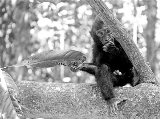 A young black crested cautiously macaque peeks out from behind a limb.