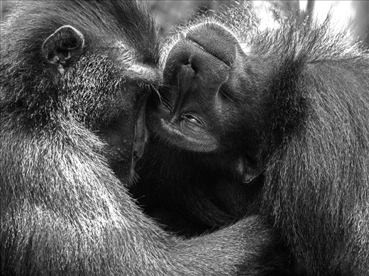 Two adult macaques share an intimate moment during a grooming session.