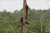 The Samboja Sanctuary is more like an actual sanctuary. This one cares for Orang-utans that have been orphaned or have had their habitat destroyed. They are the poster-child for the campaign to stop deforestation in Borneo and other parts of Malaysia.: by walkaboutthekimberleys, Views[316]
