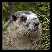 Yellow-bellied Marmot, Siyeh Bend: by wandering_about, Views[64]