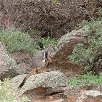An endangered Yellow footed kangaroo in the Flinders Ranges
