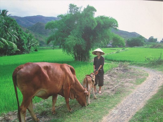 Lady tending the cows on the pays in the rice paddies
