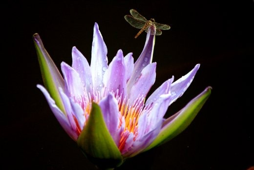 A Dragonfly Rests On The Petals Of A Lotus Flower Northern