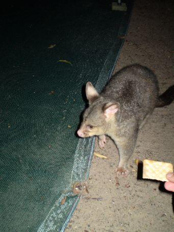 Hello Possum - Hervey Bay