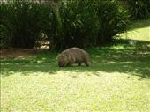Wombat Stew is a classic Australian children's book.  This guy lives at Steve Irwin's old place.: by whitneyj, Views[929]