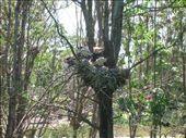 Birds nest in Bundaberg Botanical Gardens.: by whitneyj, Views[561]