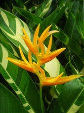 Heliconia psittacorum (Parakeet flower): by whitneyj, Views[5896]