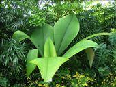 Johannesteijsmannia magnifica (Malaysian palm plant): by whitneyj, Views[3737]