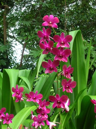 Dendrobium Anne-Marie Willoch (wife of the former Prime Minister of Norway).